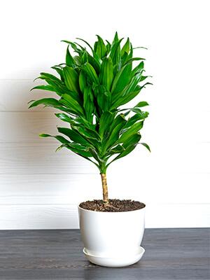 dracaena indoor best plant