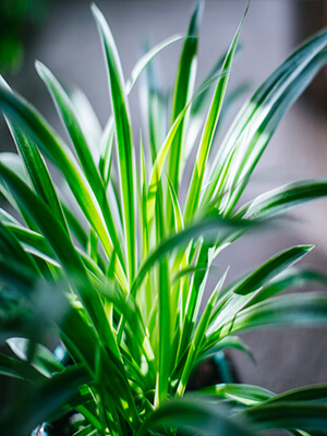 spider plant for indoor air quality