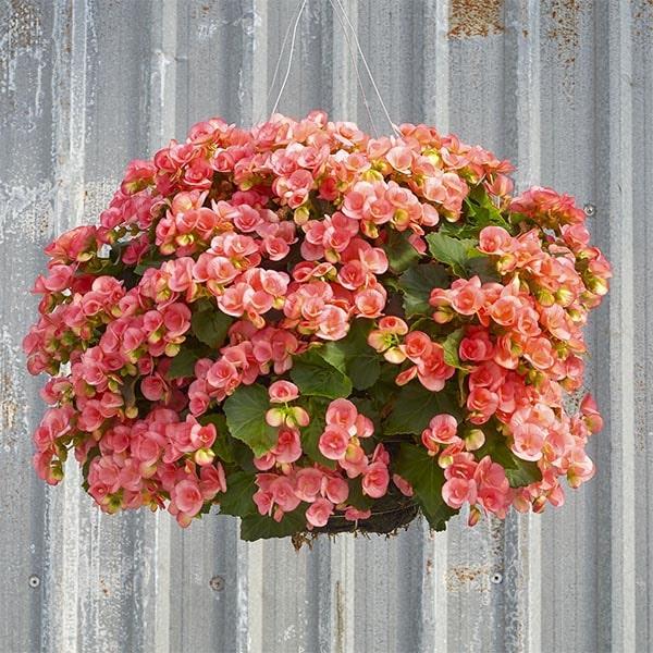 Begonia basket plants