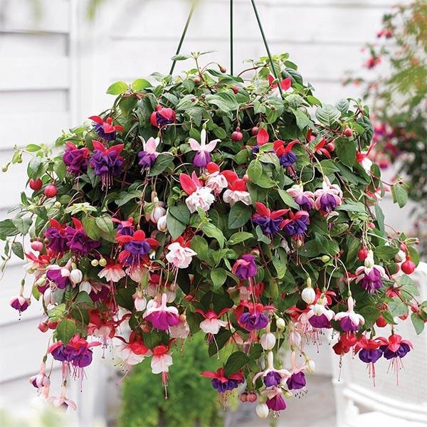 Fuschia Flowering Plants for Hanging Baskets