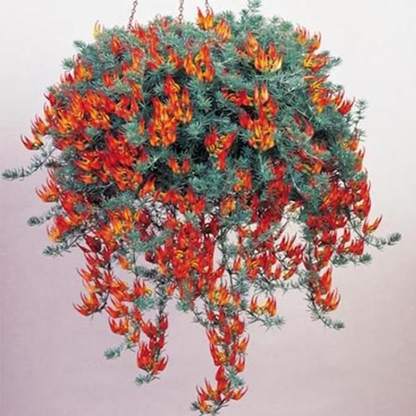 Lotus Vine Flowering Plants for Hanging Baskets