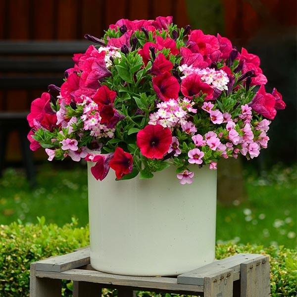 Petunia pot plant