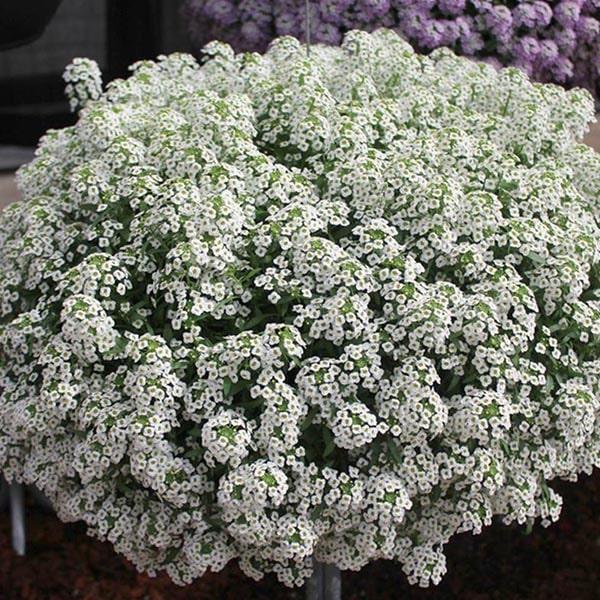 Sweet alyssum Flowering Plants for Hanging Baskets